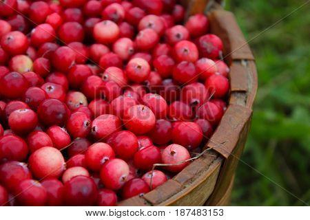 Fresh juicy cranberries in wicker basket in the garden. A beautiful summer day