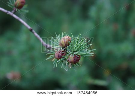 three cones on the green branch in the forest