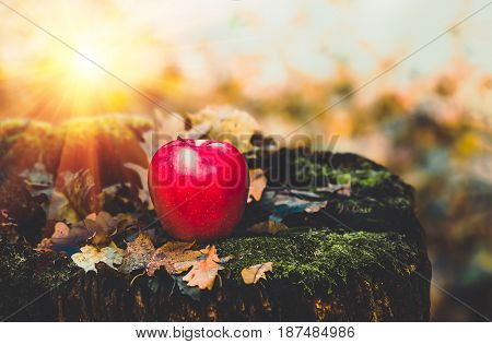 red apple lying on the ground in the dry autumn leaves agriculture background