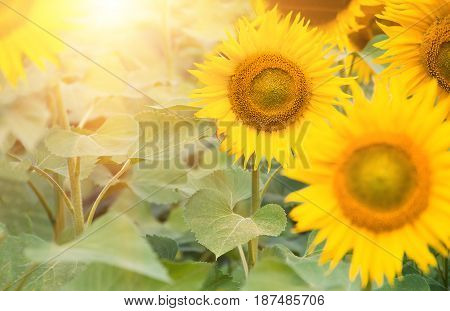Flowering flowers sunflowers closeup, nature, agricultural background