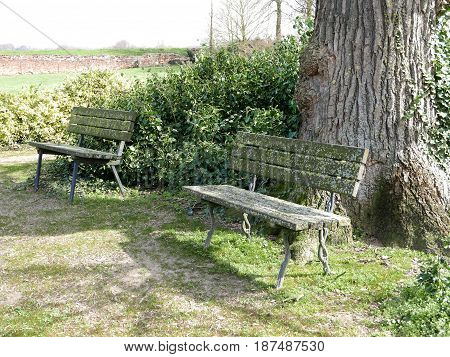 Two old spotted park benches standing in front of a gigantic tree.