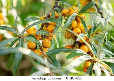The sea-buckthorn berries on the branch close up