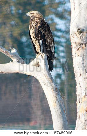 Eastern imperial eagle sits on a dry tree. Animals in wildlife.