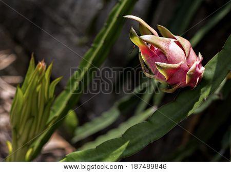 Dragon fruit or pitaya ripe in the plantation (Hylocercus undatus(Haw) Brit. & Rose.).