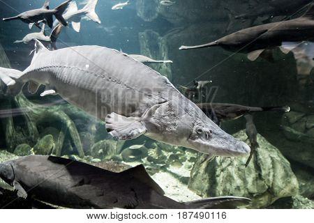Beluga and other fish in the aquarium. Huso huso. Acipenseridae