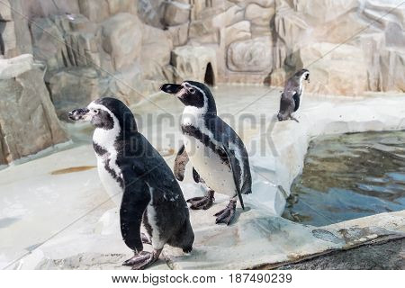 Humboldt penguin, Peruvian penguin. Spheniscus humboldti. Animals in the zoo.