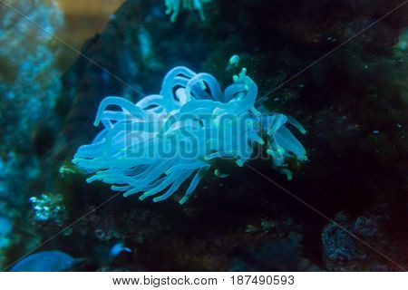 Sea anemones in the aquarium. Wildlife. Underwater world