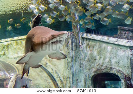 Sand tiger shark (Carcharias taurus)  and small fishes in the aquarium