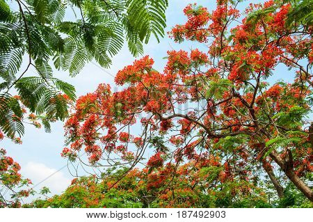 Rural Scene With Flamboyant Flowers