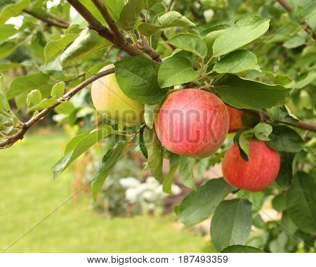 Ripe red apples and green leaves on apple-tree. Summer time
