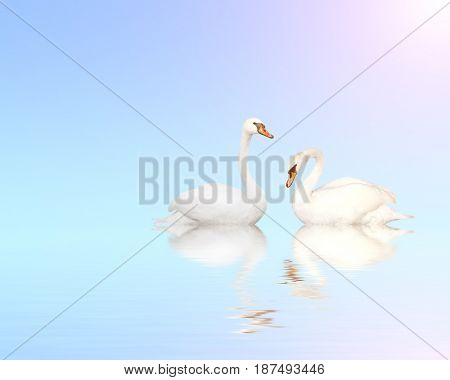 Two mute swans on blue water on sunny sky background with reflection in waves. Copy space for your text