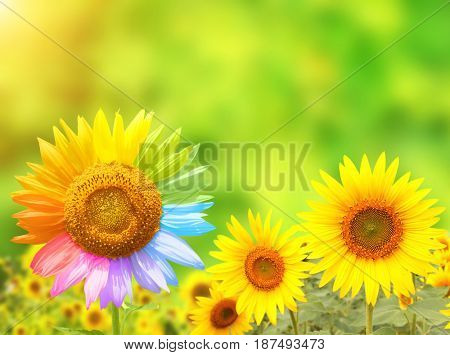 Concept - to be yourself, to be unique.  Sunflower with petals painted in rainbow colors