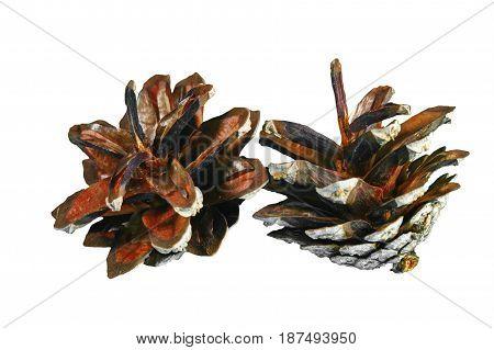 A Pinecone