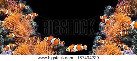 Sea anemone and clown fish in marine aquarium. On black background. Copy space for your text