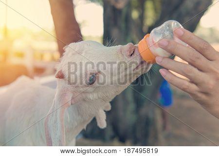Long Wool Sheep Feeding From Milk Bottle In Farm