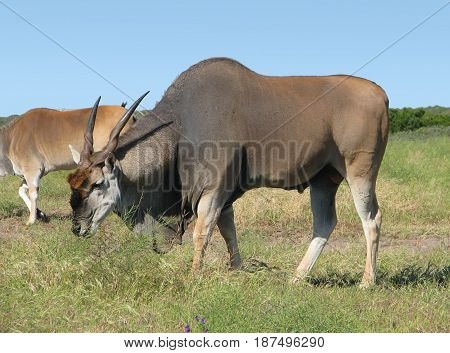 ELAND BULL, FROM KOEBERG NATURE RESERVE, CAPE TOWN, SOUTH AFRICA