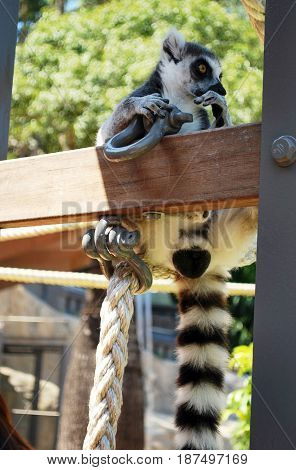 Ring-tailed lemur bachelor showing consideration and curiocity (funny pose) in Taronga zoo