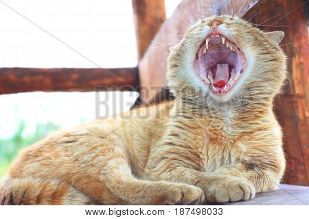 red fluffy cat with wide open mouth yawning in street