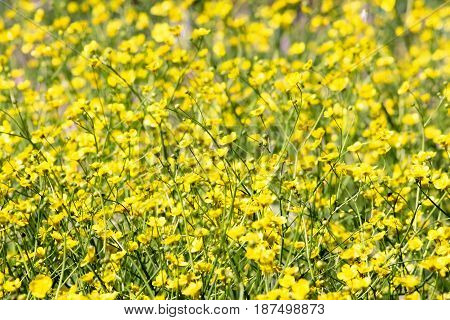 Buttercups in the meadow field of spring flowers