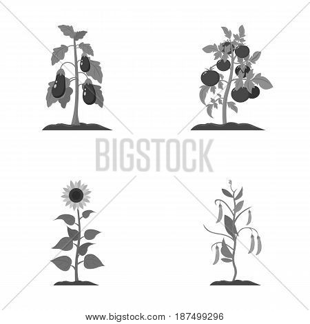Eggplant, tomato, sunflower and peas.Plant set collection icons in monochrome style vector symbol stock illustration .