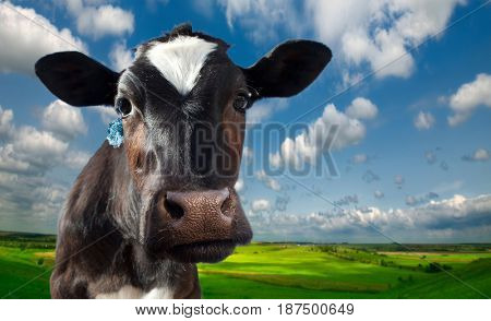 Cow spotty. Against the background of meadows and fields in a bright sunny day