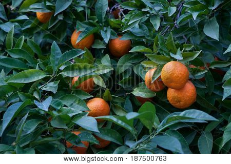Bitter orange tree (Citrus aurantium) in Cordoba, Andalusia, Spain.