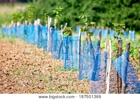 Aronia plantation Young plants planted in a row focus forward