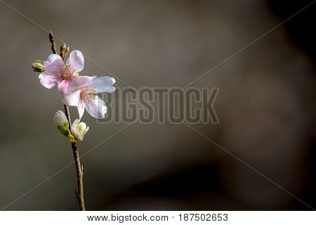 Sakura Cherry blossoms for spring background japan