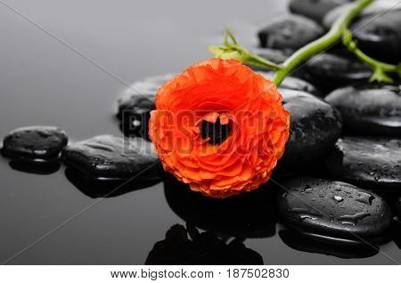 Pile of black stones and lying on ranunculus