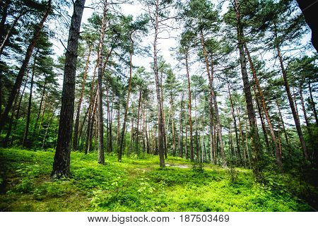 Sunshine Forest Trees. Peaceful Outdoor Scene - Wild Woods Nature.