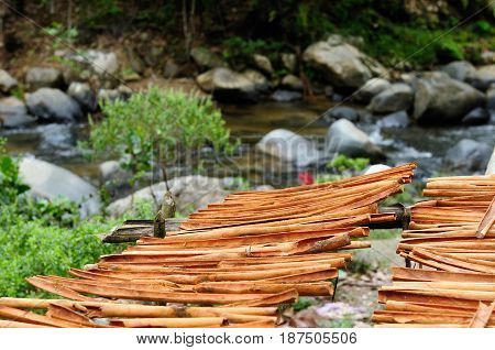 Dry cinnamon sticks on the plantation of the cinnamon in Asia