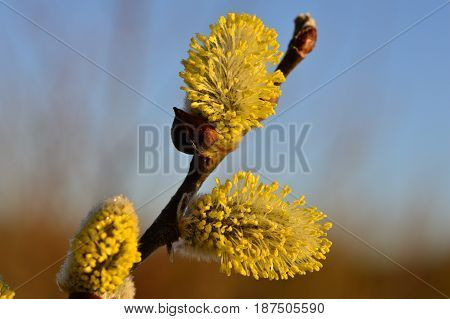 Fluffy yellow blooming spring buds of a willow on a branch