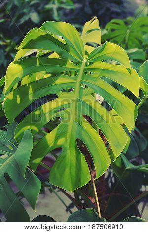 Green tropical leaf, closeup