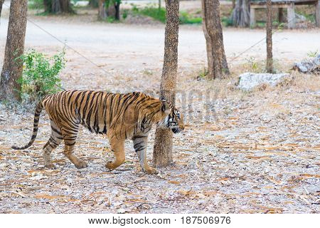 Portrait Of A Bengal Tiger (panthera Tigris Bengalensis). Wildlife Animal.