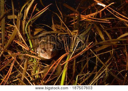 Water inhabitant frog in the spring hid in thickets of last year's grass