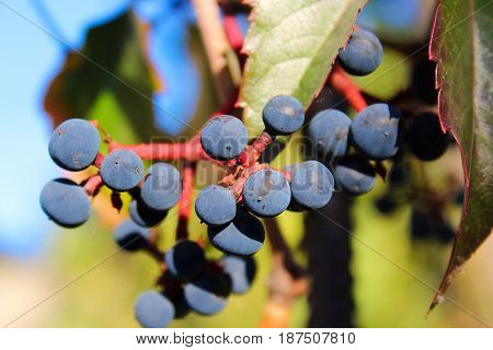 sweet juicy autumn grape on the branch