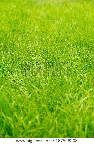 Bright green lawn grass. Textured background. Lawn.