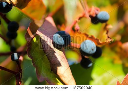 ripe grapes with leaves on branch in the sun
