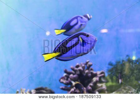 Fish swim surgeon reflection floating in aquarium