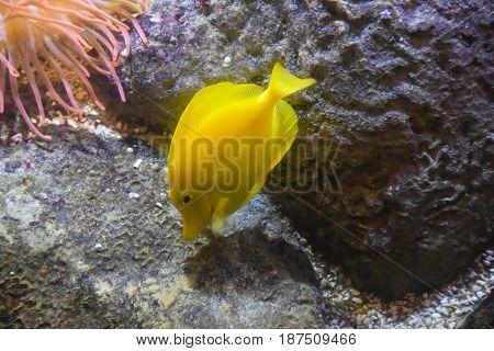 Zebrasoma Yellow Fish
