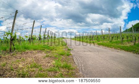 Vineyard road leading into the german vineyards