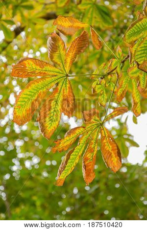 Wither the leaves of horse chestnut in autumn. Falling leaves