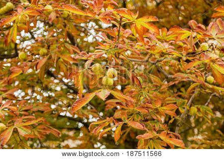 Horse chestnut in autumn in the city Park, withered leaves and fruits