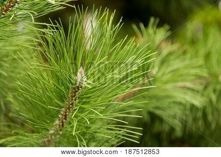 The needles of pine or cedar close up