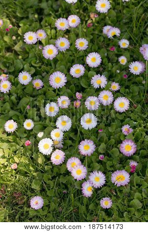 Green flowering meadow with white daisies and honey bee. Natural background.