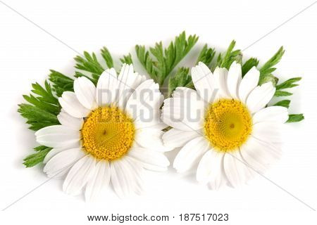 two chamomile or daisies with leaves isolated on white background.