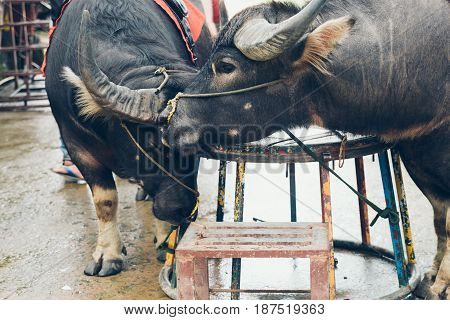 Two Asian Buffalo For Ride.