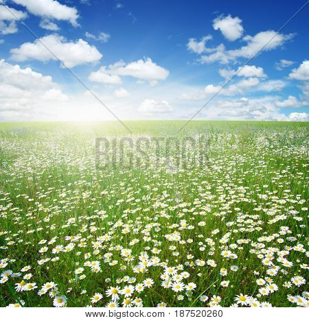 Field of daisies, blue sky and sun.