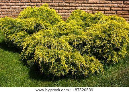 Juniperus sabina aurea in ladscape designe. Juniperus