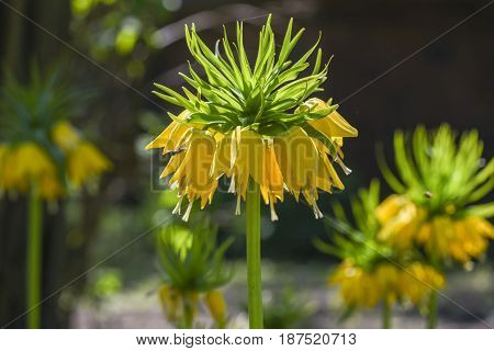 Imperial crown or fritillaria imperialis blooming in garden spring time in Poland.